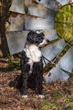 Portugiesisches Wasser-Hundeprofil Stockfoto