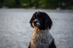 Portugisisk vattenhund Royaltyfri Bild