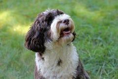 Portugisisk vattenhund som väntar på en fest royaltyfria bilder