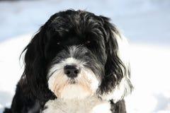 Português preto e branco Waterdog na neve Fotografia de Stock