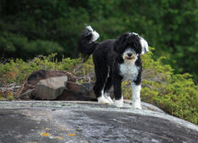 Português preto e branco Waterdog que olha me da parte superior o Imagens de Stock