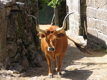 Portuguese cow. Typical from the north of the country Royalty Free Stock Photo