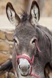 Portuguese donkey Stock Images