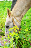 Portuguese lusitano horse feeding Royalty Free Stock Photos