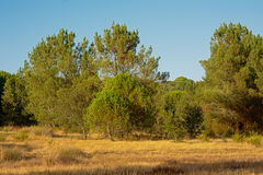 Portuguese landscape with dry grass and pine trees Royalty Free Stock Photography