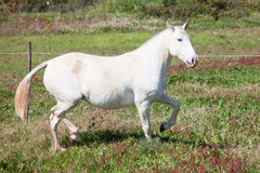 Portuguese Lusitano Horse Stock Photo