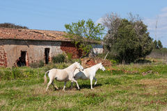 Portuguese Lusitano Horse Royalty Free Stock Photography