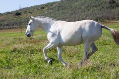 Portuguese Lusitano Horse Stock Photography