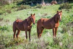 Portuguese Lusitano Horse Royalty Free Stock Photography
