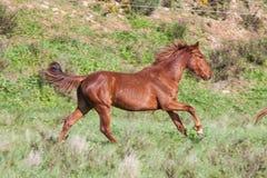 Portuguese Lusitano Horse. Portuguese traditional horse breed, the Lusitano Stock Photo