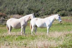 Portuguese Lusitano Horse Royalty Free Stock Image
