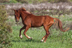 Portuguese Lusitano Horse. Portuguese traditional horse breed, the Lusitano Royalty Free Stock Photography