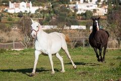 Portuguese Lusitano Horse. Portuguese traditional horse breed, the Lusitano Stock Photos