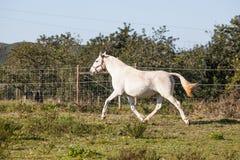 Portuguese Lusitano Horse. Portuguese traditional horse breed, the Lusitano Stock Photography