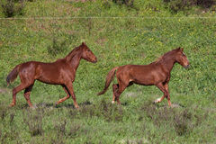 Portuguese Lusitano Horse. Portuguese traditional horse breed, the Lusitano Royalty Free Stock Photos