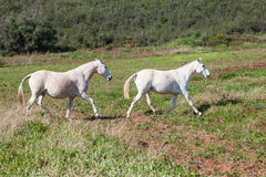 Portuguese Lusitano Horse. Portuguese traditional horse breed, the Lusitano Royalty Free Stock Photo