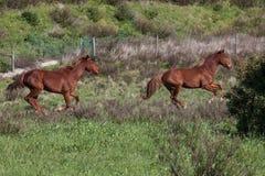 Portuguese Lusitano Horse. Portuguese traditional horse breed, the Lusitano Stock Image