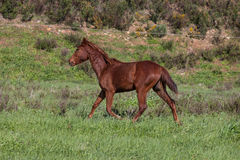 Portuguese Lusitano Horse. Portuguese traditional horse breed, the Lusitano Royalty Free Stock Image