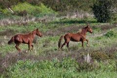 Portuguese Lusitano Horse. Portuguese traditional horse breed, the Lusitano Stock Images