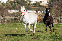 Portuguese Lusitano Horse Royalty Free Stock Photo