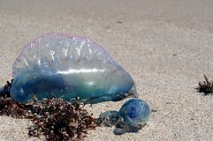 Portuguese Man O`War on the Beach. A Portuguese man o`war Physalia physalis washed up on a beach of the Canaveral National Seashore in Florida. Bright blues and stock image