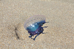 Portuguese man o war Royalty Free Stock Photo