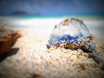 Portuguese Man of War on beach. Close up of Portuguese Man O'War on sandy beach Royalty Free Stock Photography
