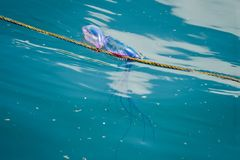 Portuguese man of war Royalty Free Stock Photo
