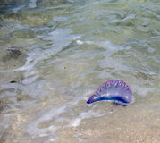 Portuguese man of War Stock Photography