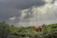 Portuguese mountain cow. Mountain cow from an old and traditional northern portuguese race against a cloudy sky with lightbeams. National Peneda Geres park Royalty Free Stock Images
