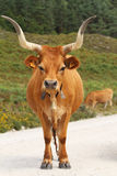 Portuguese mountain longhorn cattle Stock Photo