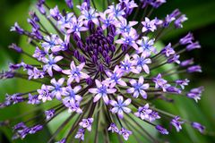 Portuguese Squill, detail Royalty Free Stock Photography