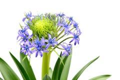 Portuguese squill Scilla peruviana flowerpot on white isolated background stock photo