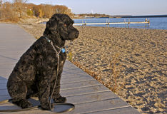 Portuguese Water Dog Royalty Free Stock Photography