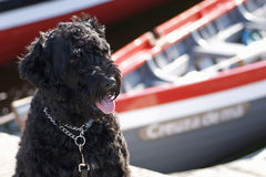 Portuguese Water Dog Stock Photography