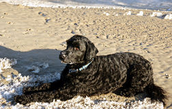 Portuguese Water Dog. A young male Portuguese Water Dog in a down position on the sand. His hypo-allergenic wavy black coat with a patch of white on the chest is Stock Image