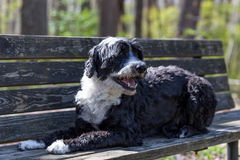 Portuguese Water Dog on a Bench. Beautiful black and white Portie with wavy coat posing on a bench Royalty Free Stock Image