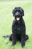 Portuguese water dog portrait. Portrait of a portuguese water dog with mouth open Royalty Free Stock Photo