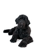 Portuguese water dog portrait Royalty Free Stock Image