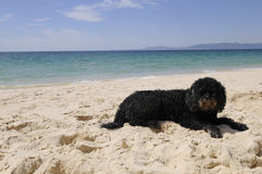 Portuguese Water Dog with Sand on Her Nose Stock Images