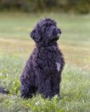 Portuguese Water Dog Royalty Free Stock Image