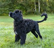 Portuguese Water Dog Stock Image