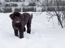 Portuguese Water Dog standing in snow stock images