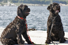 Portuguese Water Dogs Stock Photos