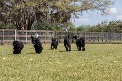 Portuguese Water Dogs playing in a field stock photography