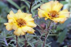 Portulaca大花的花 库存照片