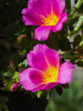 portulaca λουλουδιών Στοκ εικόνες με δικαίωμα ελεύθερης χρήσης