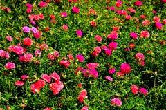Portulaca тип род Portulacaceae семьи цветкового растения Стоковое Фото