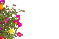 Portulaca Royalty Free Stock Image