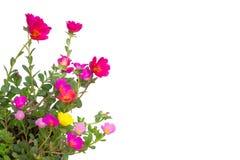 Portulaca blomma royaltyfri bild